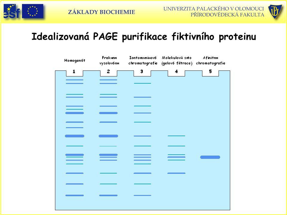 Idealizovaná PAGE purifikace fiktivního proteinu