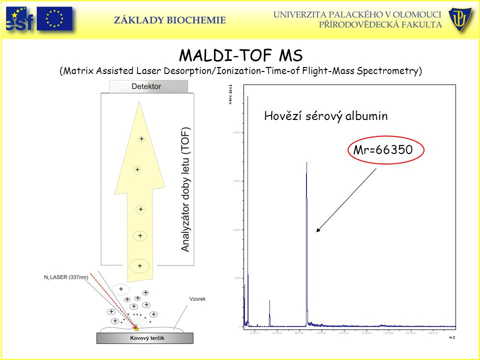 MALDI-TOF MS (Matrix Assisted Laser Desorption/Ionization-Time-of Flight-Mass Spectrometry)