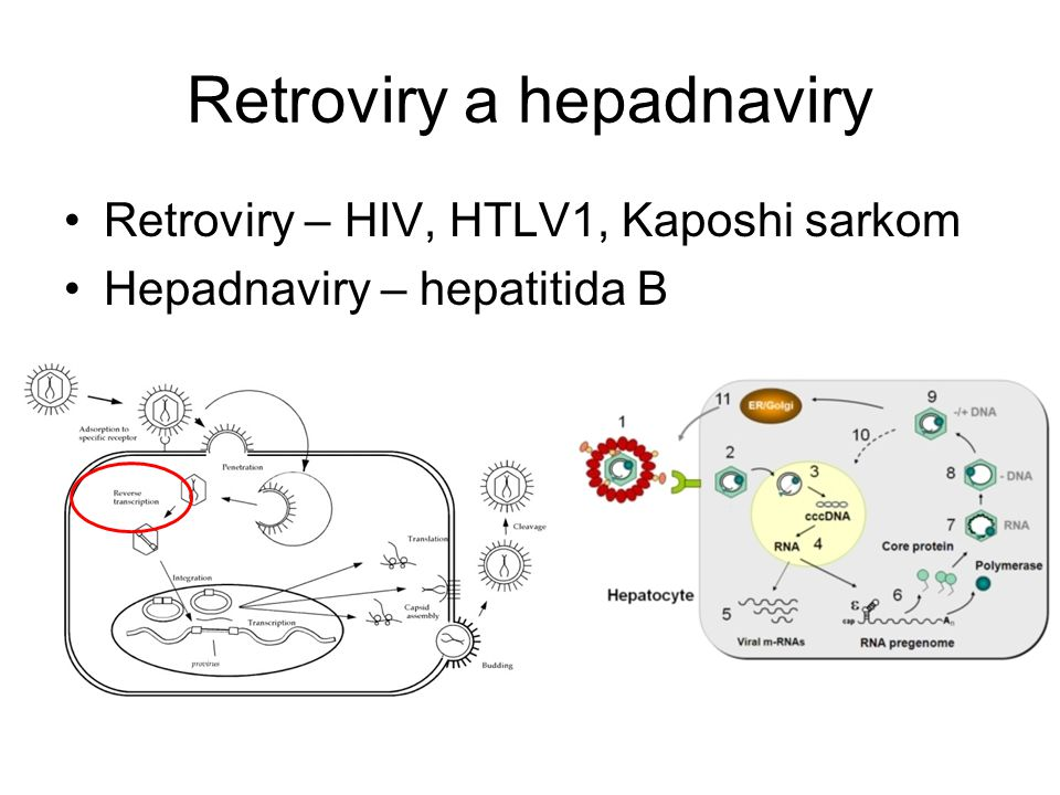 Retroviry a hepadnaviry