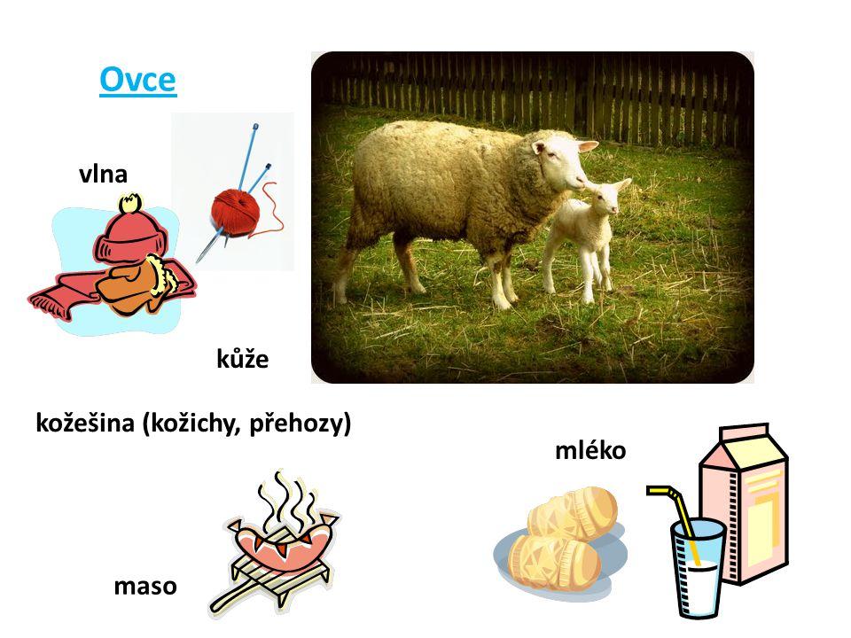 Ovce vlna kůže kožešina (kožichy, přehozy) mléko maso