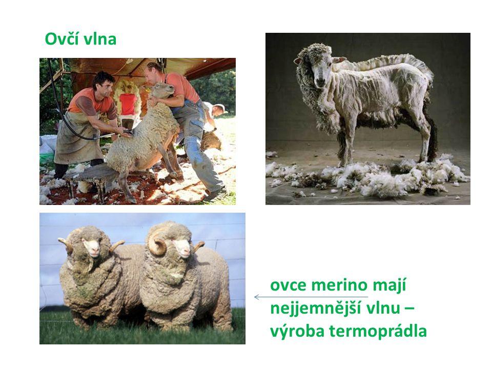 Ovčí vlna ovce merino mají nejjemnější vlnu – výroba termoprádla
