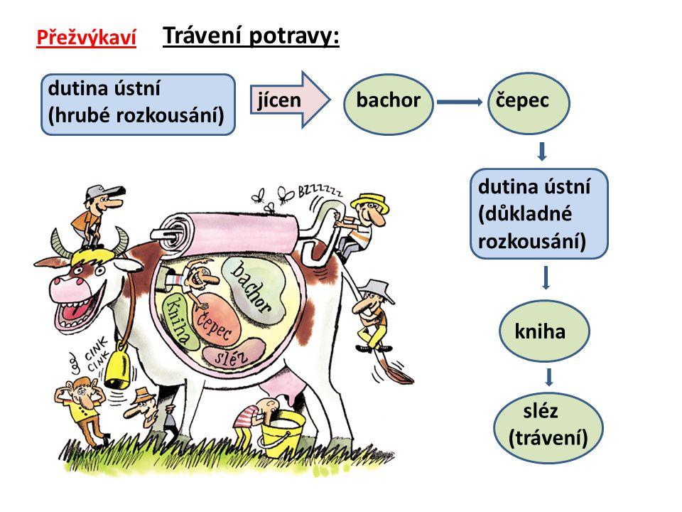 Trávení potravy: Přežvýkaví dutina ústní (hrubé rozkousání) jícen