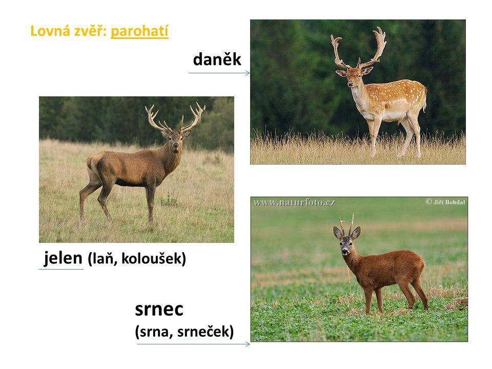 Lovná zvěř: parohatí daněk jelen (laň, koloušek) srnec (srna, srneček)