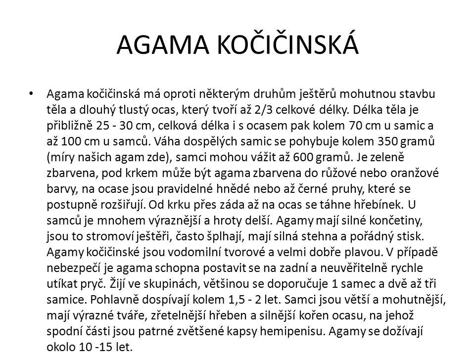 AGAMA KOČIČINSKÁ