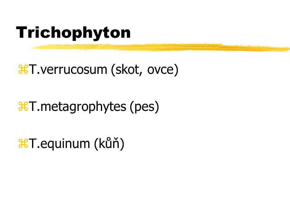 Trichophyton T.verrucosum (skot, ovce) T.metagrophytes (pes)