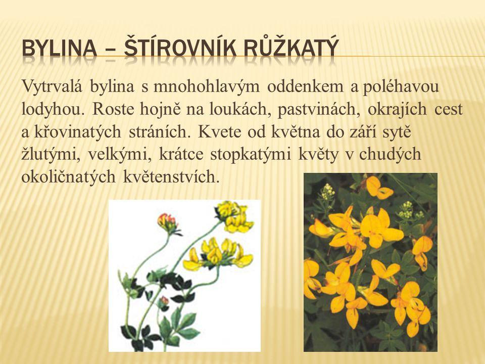 bylina – štírovník růžkatý
