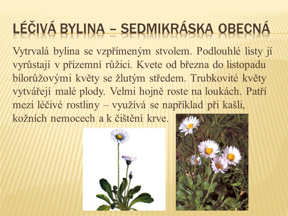 Léčivá bylina – sedmikráska obecná