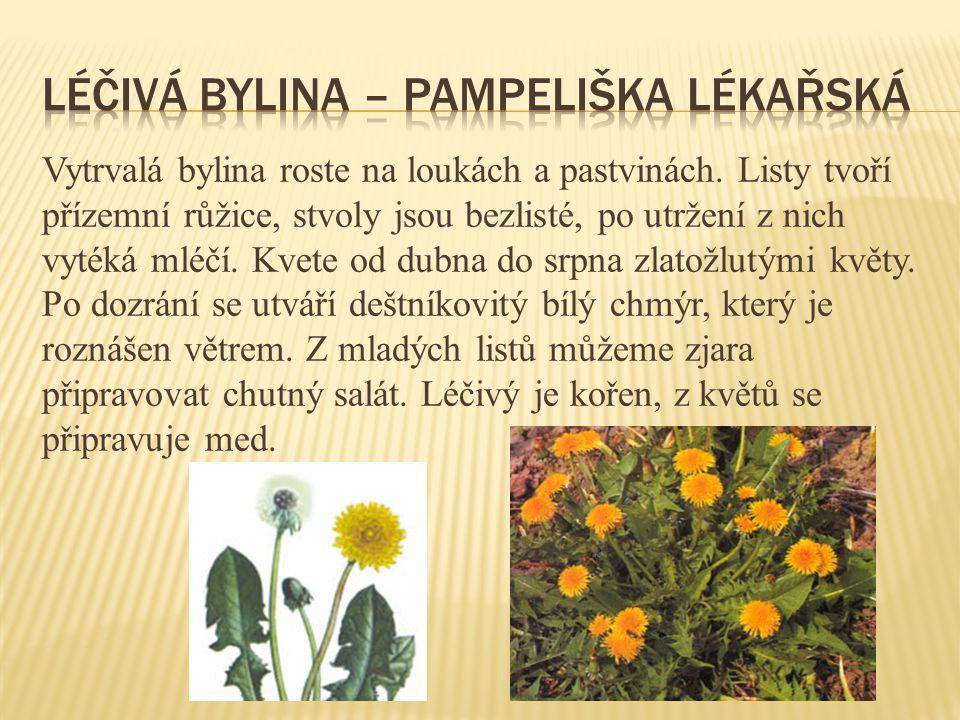 Léčivá bylina – pampeliška lékařská