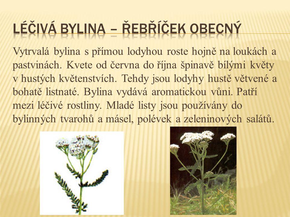 Léčivá bylina – řebříček obecný