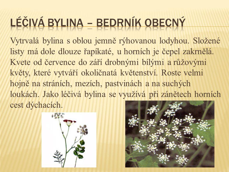 Léčivá bylina – bedrník obecný