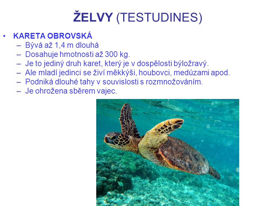 ŽELVY (TESTUDINES) KARETA OBROVSKÁ Bývá až 1,4 m dlouhá