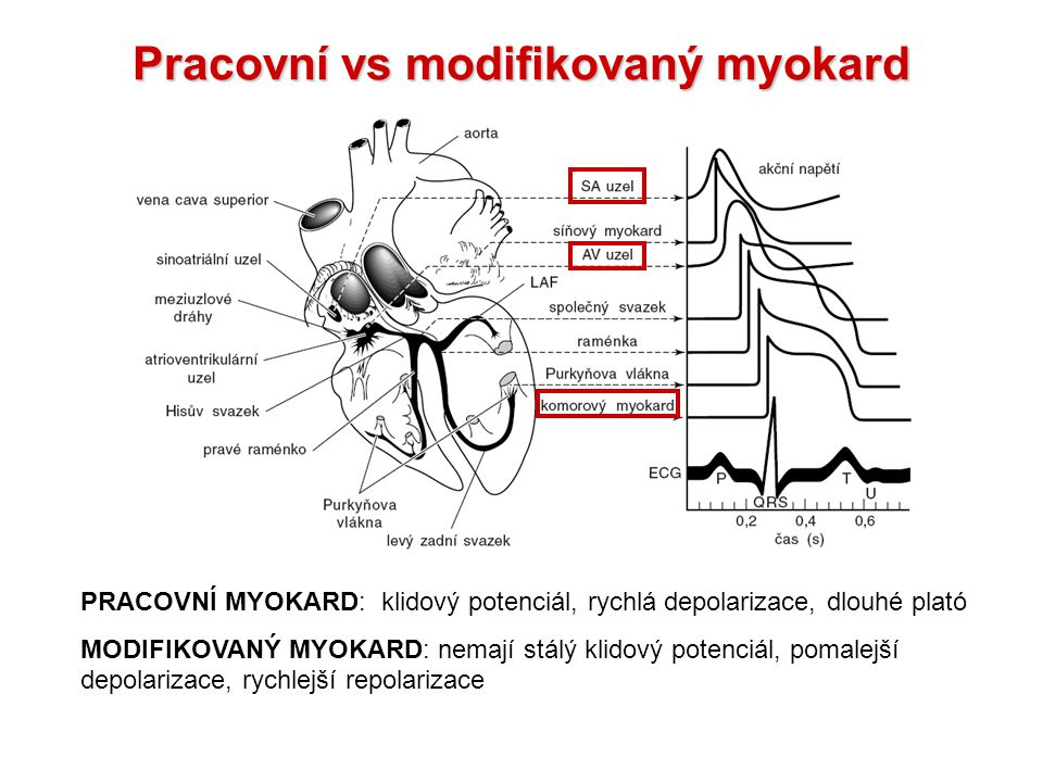 Pracovní vs modifikovaný myokard