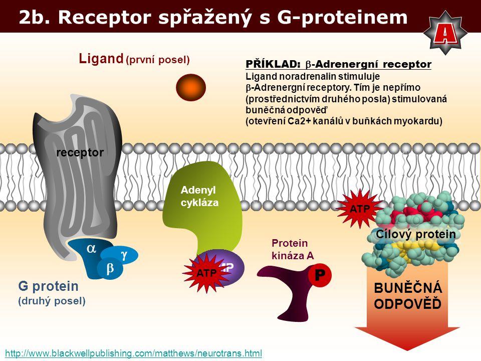 A 2b. Receptor spřažený s G-proteinem  P Ligand (první posel)  