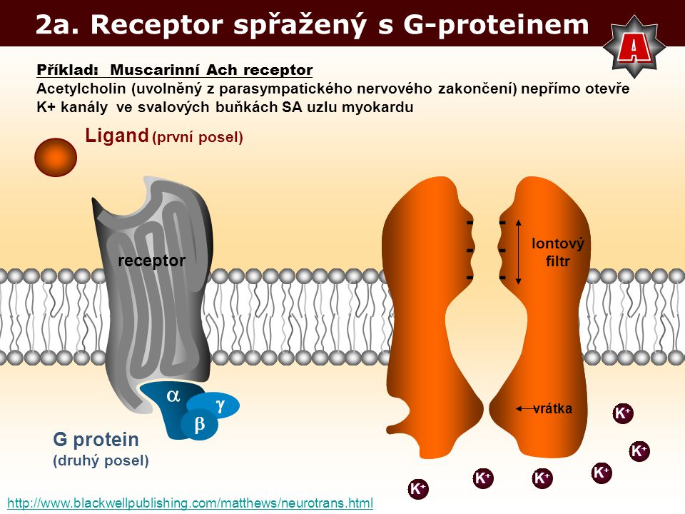 A 2a. Receptor spřažený s G-proteinem - -  Ligand (první posel)  
