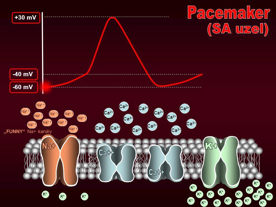 Pacemaker (SA uzel) Na+ K+ Ca++ Ca++