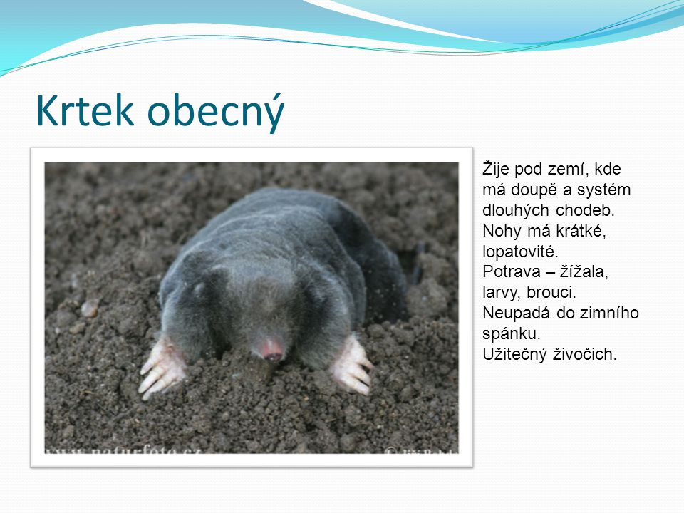 Krtek obecný Žije pod zemí, kde má doupě a systém dlouhých chodeb.