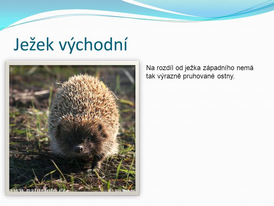 Ježek východní Na rozdíl od ježka západního nemá tak výrazně pruhované ostny.