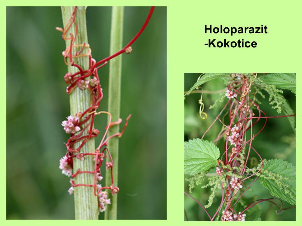 Holoparazit -Kokotice