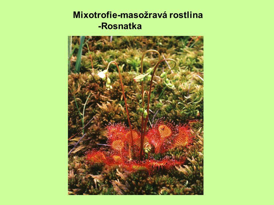 Mixotrofie-masožravá rostlina