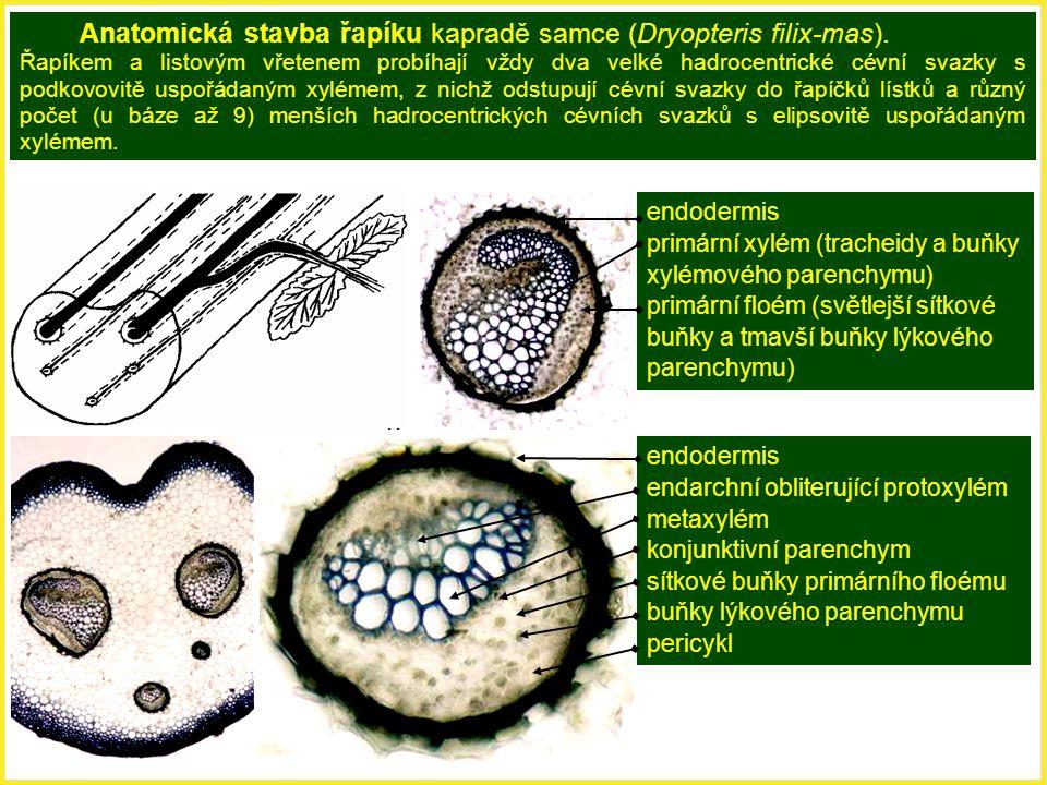 Anatomická stavba řapíku kapradě samce (Dryopteris filix-mas).
