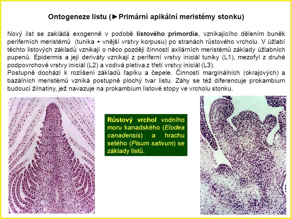 Ontogeneze listu (►Primární apikální meristémy stonku)