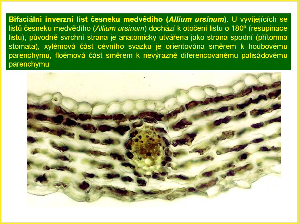 Bifaciální inverzní list česneku medvědího (Allium ursinum)