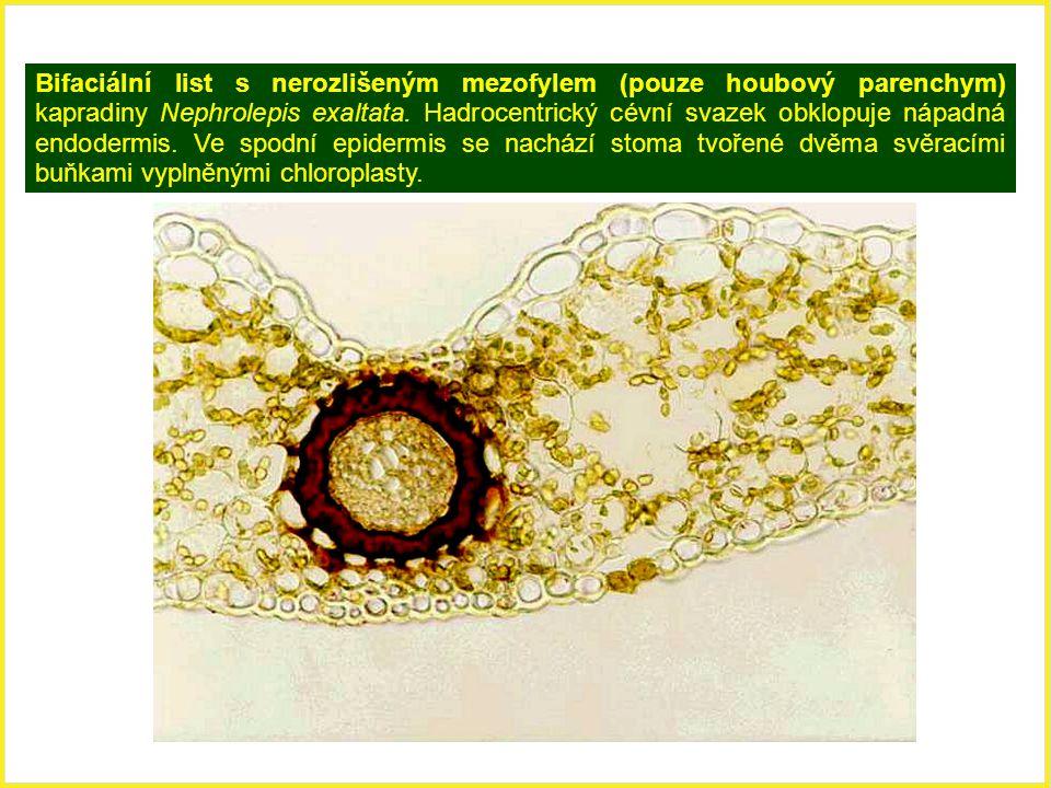 Bifaciální list s nerozlišeným mezofylem (pouze houbový parenchym) kapradiny Nephrolepis exaltata. Hadrocentrický cévní svazek obklopuje nápadná endodermis. Ve spodní epidermis se nachází stoma tvořené dvěma svěracími buňkami vyplněnými chloroplasty.