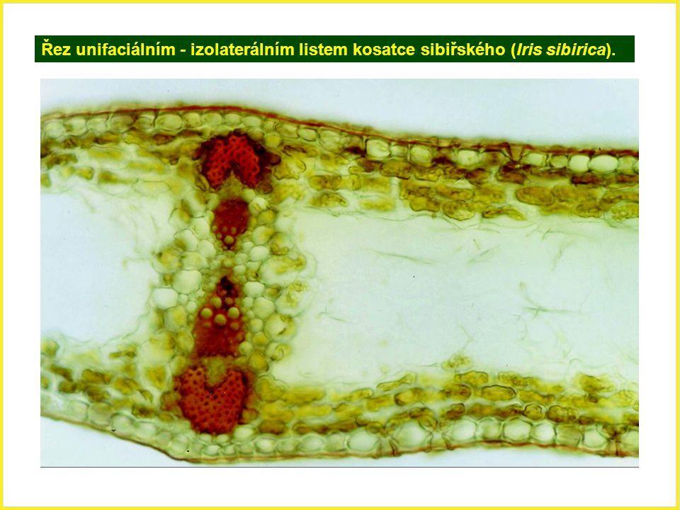 Řez unifaciálním - izolaterálním listem kosatce sibiřského (Iris sibirica).