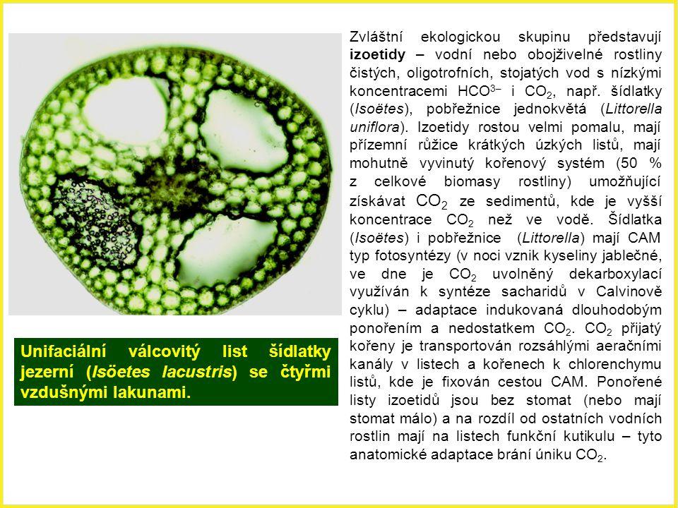 Zvláštní ekologickou skupinu představují izoetidy – vodní nebo obojživelné rostliny čistých, oligotrofních, stojatých vod s nízkými koncentracemi HCO3– i CO2, např. šídlatky (Isoëtes), pobřežnice jednokvětá (Littorella uniflora). Izoetidy rostou velmi pomalu, mají přízemní růžice krátkých úzkých listů, mají mohutně vyvinutý kořenový systém (50 % z celkové biomasy rostliny) umožňující získávat CO2 ze sedimentů, kde je vyšší koncentrace CO2 než ve vodě. Šídlatka (Isoëtes) i pobřežnice (Littorella) mají CAM typ fotosyntézy (v noci vznik kyseliny jablečné, ve dne je CO2 uvolněný dekarboxylací využíván k syntéze sacharidů v Calvinově cyklu) – adaptace indukovaná dlouhodobým ponořením a nedostatkem CO2. CO2 přijatý kořeny je transportován rozsáhlými aeračními kanály v listech a kořenech k chlorenchymu listů, kde je fixován cestou CAM. Ponořené listy izoetidů jsou bez stomat (nebo mají stomat málo) a na rozdíl od ostatních vodních rostlin mají na listech funkční kutikulu – tyto anatomické adaptace brání úniku CO2.