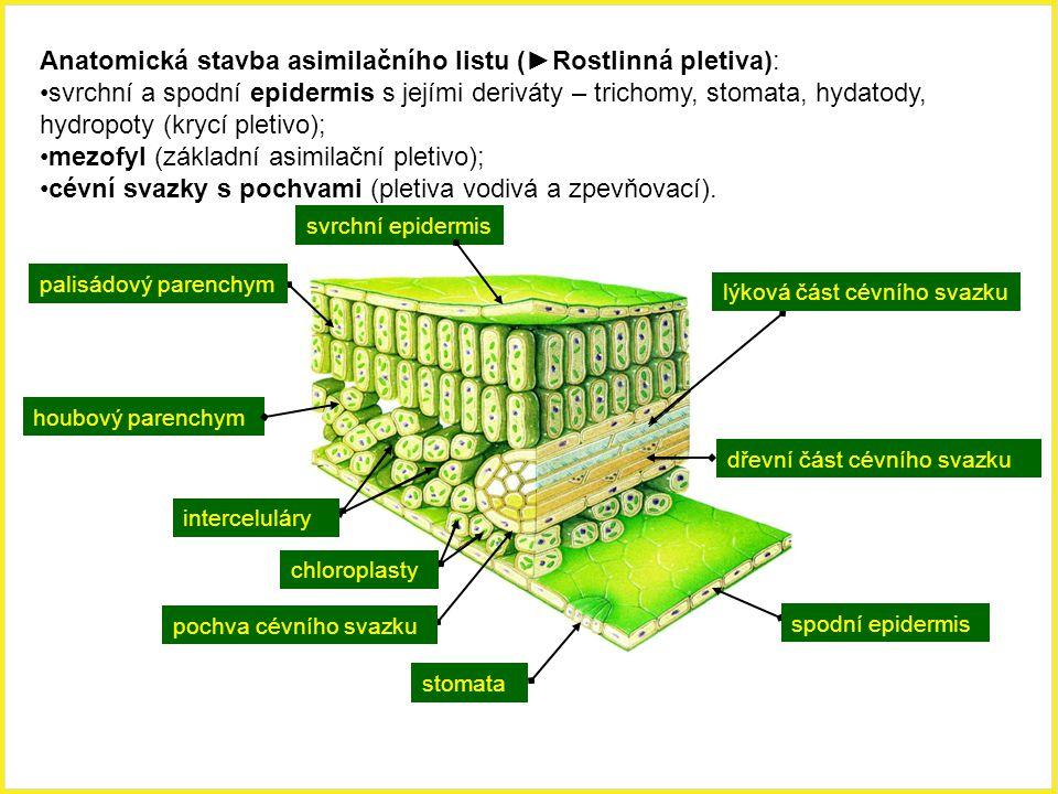 Anatomická stavba asimilačního listu (►Rostlinná pletiva):