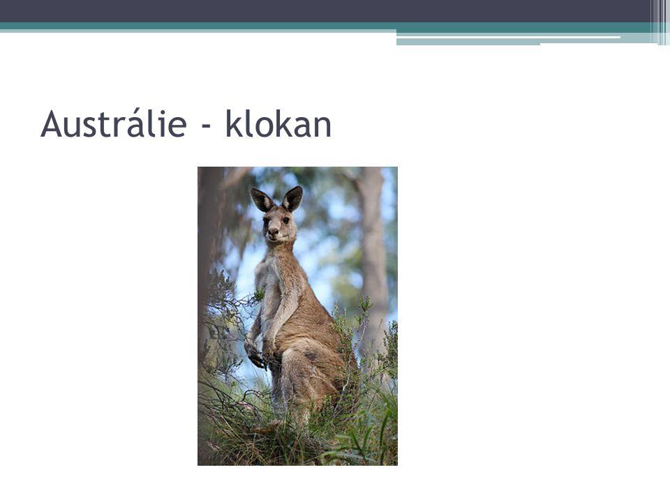 Austrálie - klokan