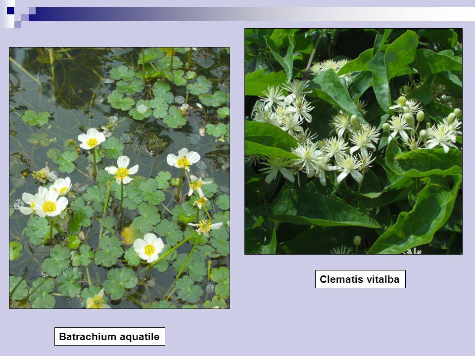 Clematis vitalba Batrachium aquatile