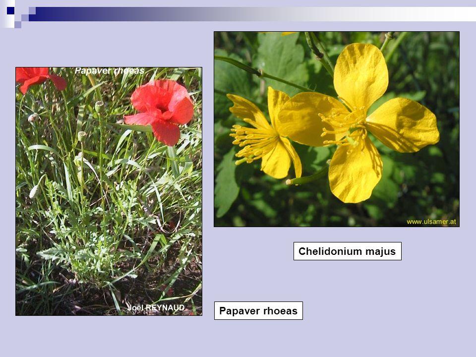 Chelidonium majus Papaver rhoeas