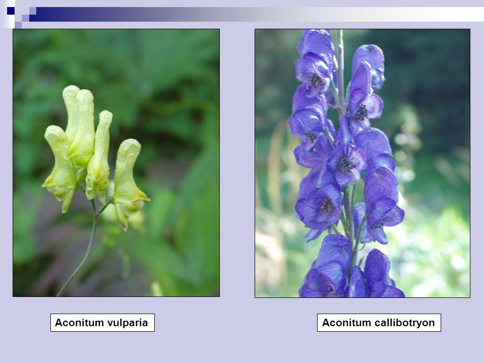 Aconitum vulparia Aconitum callibotryon