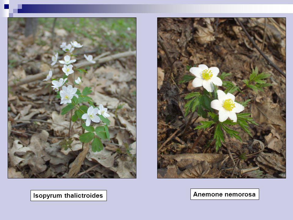 Isopyrum thalictroides