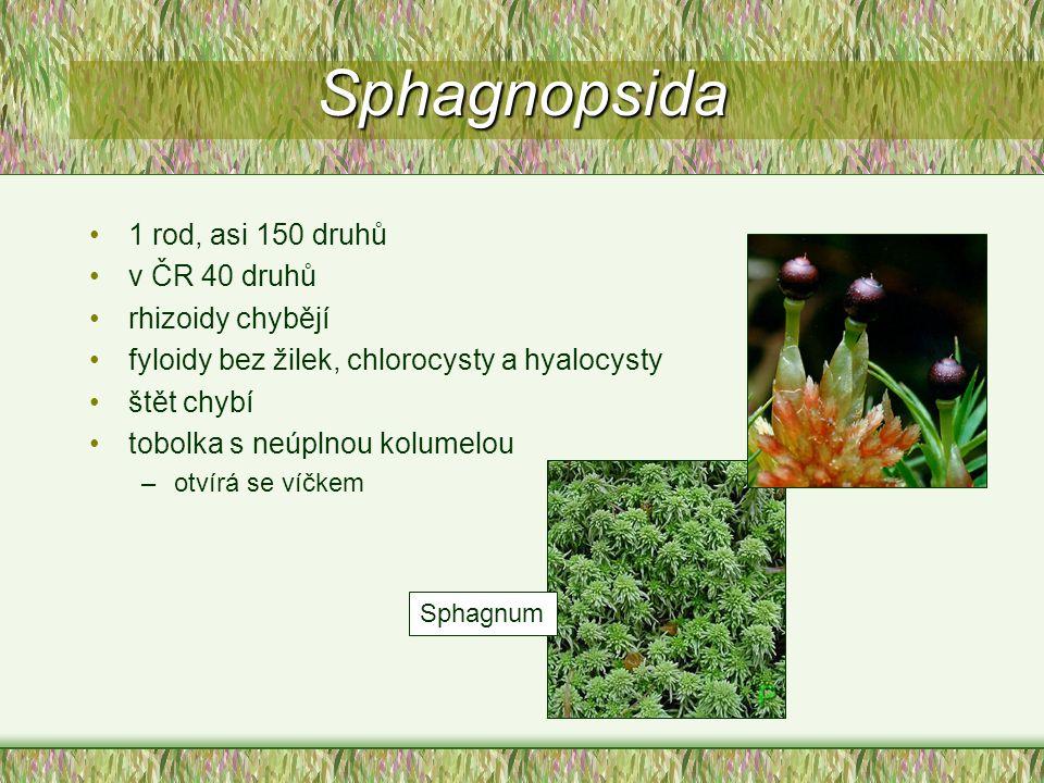Sphagnopsida 1 rod, asi 150 druhů v ČR 40 druhů rhizoidy chybějí
