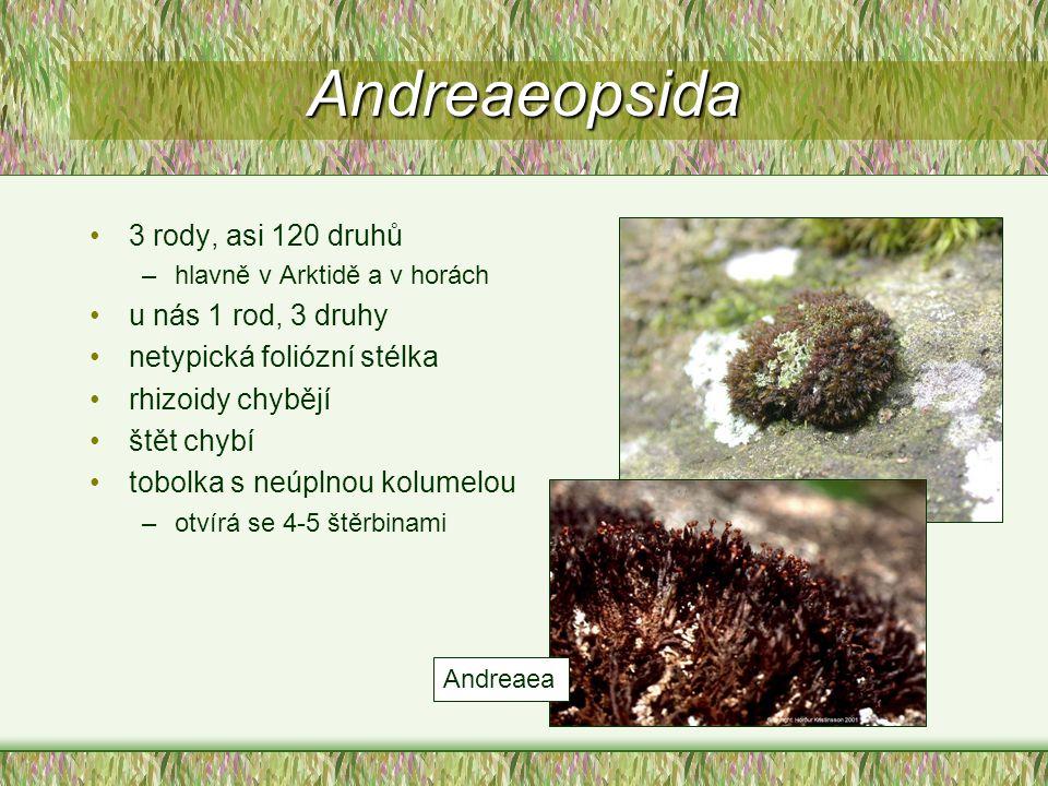Andreaeopsida 3 rody, asi 120 druhů u nás 1 rod, 3 druhy