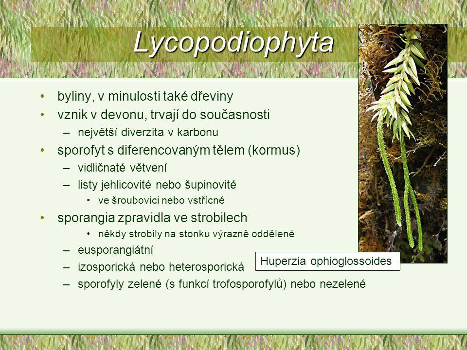 Lycopodiophyta byliny, v minulosti také dřeviny