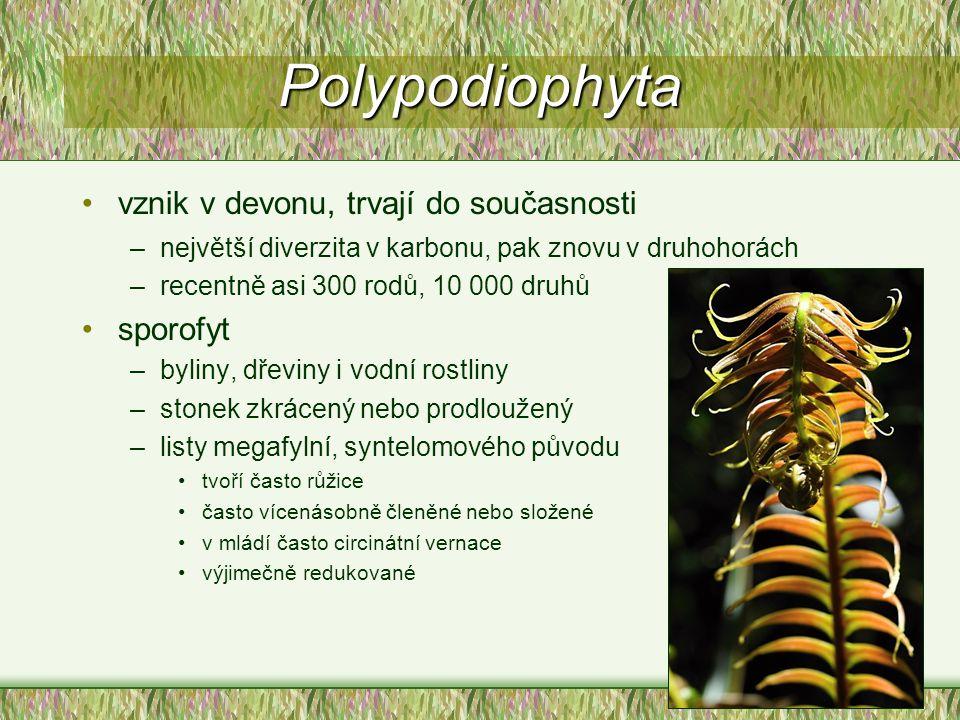 Polypodiophyta vznik v devonu, trvají do současnosti sporofyt