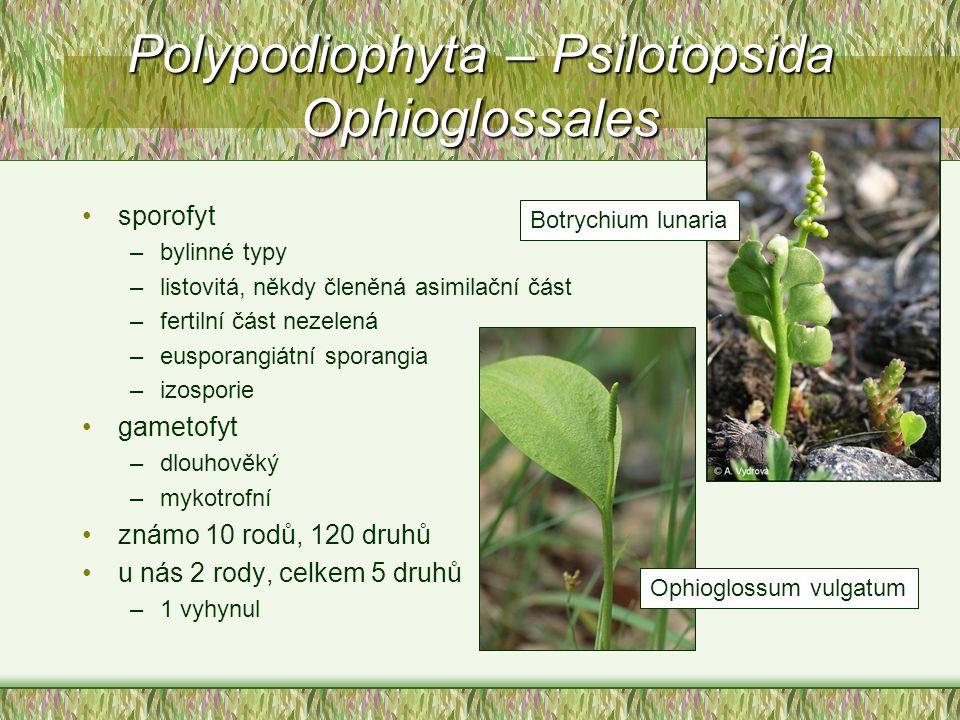 Polypodiophyta – Psilotopsida Ophioglossales