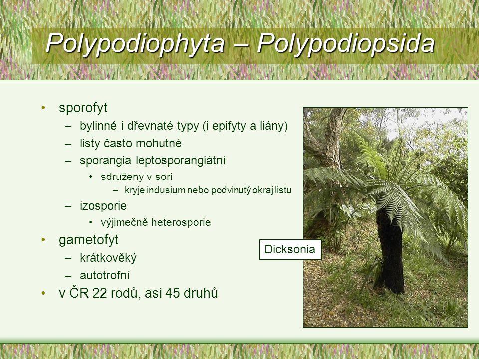 Polypodiophyta – Polypodiopsida