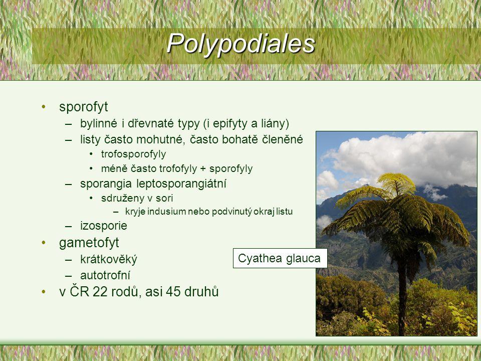 Polypodiales sporofyt gametofyt v ČR 22 rodů, asi 45 druhů
