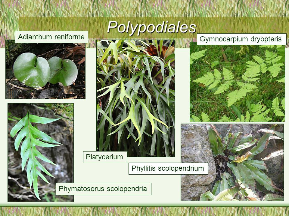 Polypodiales Adianthum reniforme Gymnocarpium dryopteris Platycerium
