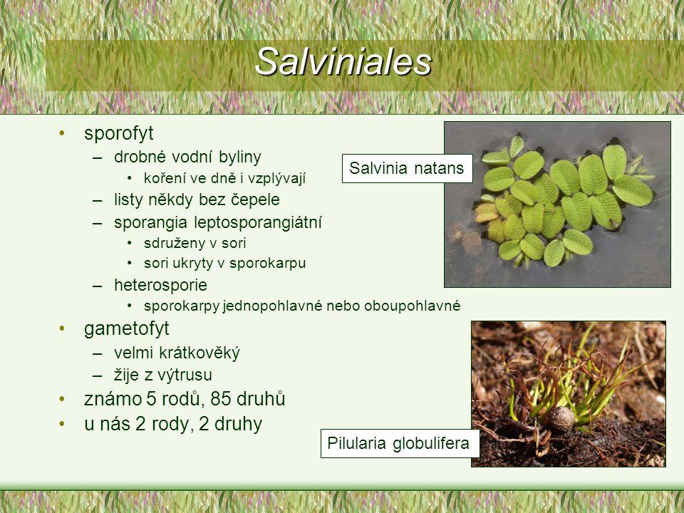 Salviniales sporofyt gametofyt známo 5 rodů, 85 druhů
