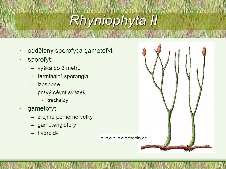 Rhyniophyta II oddělený sporofyt a gametofyt sporofyt: gametofyt