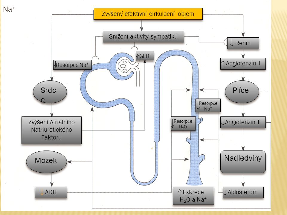 Srdce Plíce Mozek Nadledviny Na+ Zvýšený efektivní cirkulační objem