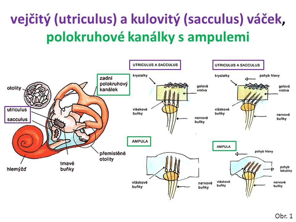vejčitý (utriculus) a kulovitý (sacculus) váček, polokruhové kanálky s ampulemi