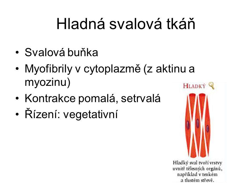 Hladná svalová tkáň Svalová buňka