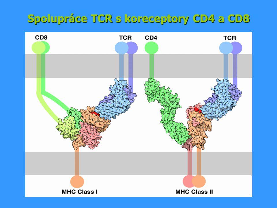 Spolupráce TCR s koreceptory CD4 a CD8