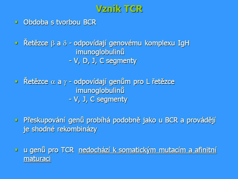 Vznik TCR Obdoba s tvorbou BCR
